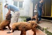 Đến thăm trại chó Ngao Tây Tạng ở Quảng Yên