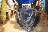 Sóc Trăng: Cá voi mắc cạn, chết vì kiệt sức