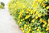 Ba Vì mùa vàng hoa quỳ