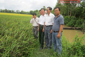 """Gặp nông dân trồng lúa """"thảo dược"""""""