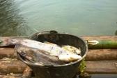 Thanh Hóa: Cá chết hàng loạt trên thượng nguồn sông Bưởi