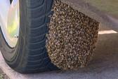"Bị 8.000 con ong ""giam lỏng"""