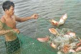 1 kg cá điêu hồng lãi gấp chục lần 1 kg lúa