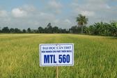 Giống lúa Việt Nam chín cực nhanh