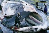 Nhật Bản: Chó quý tộc ăn thịt cá voi sắp tuyệt chủng