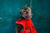 Indonesia truy quét khỉ đường phố