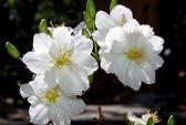 Ngắm mai trắng, đào hồng trong Hội hoa xuân