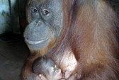 Đười ươi Sumatra sinh con ở Đầm Sen