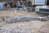 Bắt cá sấu nặng 30 kg gần trường học