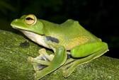 Phát hiện loài ếch bay mới ở TPHCM
