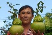 """Nhà vườn miền Tây tất bật thu hoạch trái cây """"độc"""""""