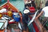 Một ngư dân Lý Sơn trúng đậm 5 tấn cá ngừ hoa
