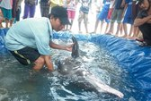 Đào ao, nối ống ô xy cho cá voi lụy bờ