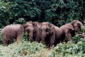 Hàng chục con voi rừng đã rút khỏi thị trấn