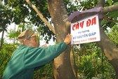 Cây dừa 2 ngọn ở quê hương Đại tướng