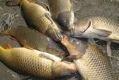 Ăn cá chép sống, sán chui vào thanh quản