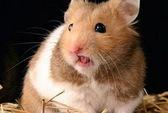 Tư vấn về bệnh truyền nhiễm từ chuột