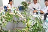 Cho phép nghiên cứu cây xáo tam phân làm thuốc