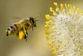 Kỳ diệu từ phấn hoa, sữa ong chúa