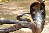 Tiền Giang: Bác sĩ xét nghiệm cho… rắn