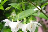 Ngọc lan hoa trắng chữa đau đầu