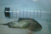 Suýt chết vì cá rô sống chui vào họng