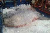 Bắt được cá mặt trăng quý nặng 400 kg