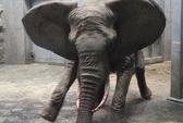 Thêm một voi mẹ giẫm chết con mới sinh