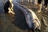 Lại xuất hiện xác cá rắn khổng lồ