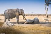 Voi cái ôm ngà voi đực đã chết hàng giờ