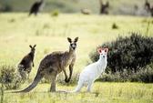 Xuất hiện kangaroo lông trắng, tai hồng hiếm gặp