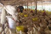Người nuôi gà trước nguy cơ phá sản