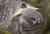 Hải cẩu giúp thám hiểm đáy Nam Cực