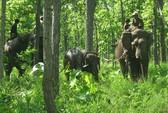 Bắt được voi rừng dính bẫy