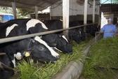 Làm giàu từ chăn nuôi bò sữa