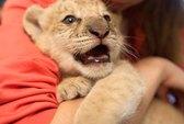 Chiêm ngưỡng sư tử lai cực hiếm