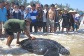 Quảng Bình: Bắt được rùa biển nặng trên 300 kg