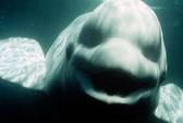 Cá voi nói được tiếng người