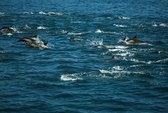 100.000 con cá heo ập vào vùng biển California