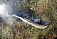 Cá sấu Mỹ đại chiến trăn Miến Điện