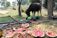 Nông dân Quảng Ngãi đắng lòng nhìn dưa hấu chín rục ngoài đồng