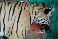 Ấn Độ: Bắn chết hổ ăn thịt 7 người