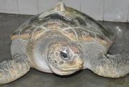 Bắt được con vích quý hiếm, nặng 55 kg