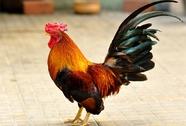 Án mạng bởi chuyện con gà