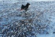 Hàng ngàn con cá đóng băng ở Na Uy