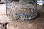 Làm cỏ bắt được cá sấu