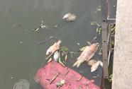 TP HCM: Cá lại chết trên kênh Nhiêu Lộc