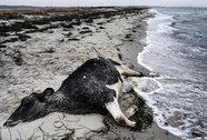 Bò chết dạt liên tục vào Thụy Điển, Đan Mạch