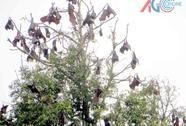 An Giang: Hàng ngàn con dơi quay về trú ẩn tại chùa
