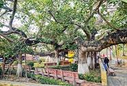 Thăm cây đa 13 gốc